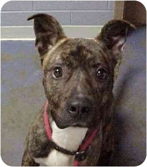 American Pit Bull Terrier Dog for adoption in Staunton, Virginia - Ziggy