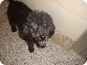 Poodle (Miniature) Mix Dog for adoption in Aiken, South Carolina - Clarabell