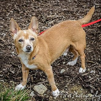 Chihuahua Mix Dog for adoption in Cincinnati, Ohio - Atom