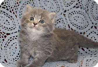 Maine Coon Kitten for adoption in Bristol, Connecticut - Twilight-PENDING
