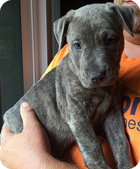Weimaraner/Wirehaired Pointing Griffon Mix Puppy for adoption in SUSSEX, New Jersey - Sabrina(6 lb) Blue Eyes/Video!