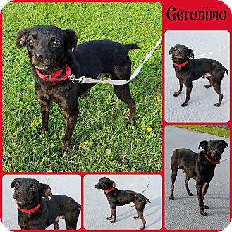 Chihuahua/Italian Greyhound Mix Dog for adoption in Joliet, Illinois - Geronimo