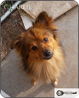 Pomeranian Mix Dog for adoption in DeForest, Wisconsin - Charlie