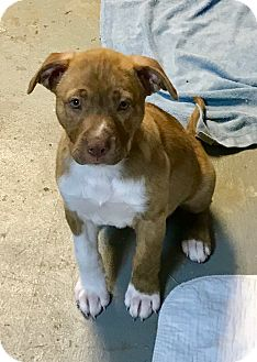Hound (Unknown Type)/Bulldog Mix Puppy for adoption in Atlanta, Georgia - Rambler