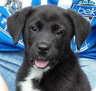Labrador Retriever/Border Collie Mix Puppy for adoption in Burlington, Vermont - Stanley (9 lb) Video