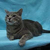 Domestic Shorthair Cat for adoption in Redwood Falls, Minnesota - Barney