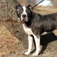 American Pit Bull Terrier Mix Dog for adoption in Wantagh, New York - Marv