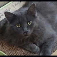Adopt A Pet :: Pewter - Wickenburg, AZ