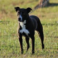 Adopt A Pet :: Bouncer - Winchester, TN