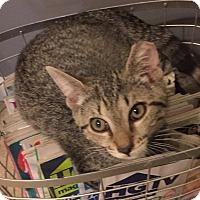 Domestic Shorthair Kitten for adoption in Monroe, Georgia - Romeo