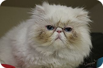 Persian Cat for adoption in Dunkirk, New York - Sampson