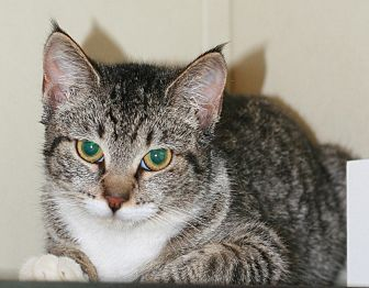 Maine Coon Kitten for adoption in Attalla, Alabama - Mary