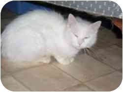 Domestic Longhair Cat for adoption in Hamburg, New York - Sister