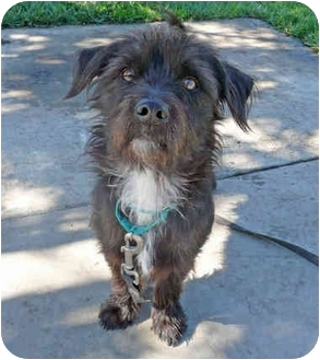 Cairn Terrier Mix Dog for adoption in San Clemente, California - JACKSON
