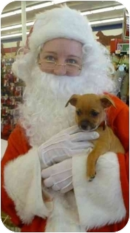 Chihuahua/Chihuahua Mix Puppy for adoption in Broomfield, Colorado - Maccabee