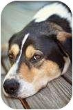 Greater Swiss Mountain Dog/Labrador Retriever Mix Dog for adoption in Lake Arrowhead, California - Bentley