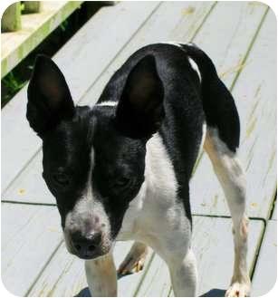 Rat Terrier Mix Dog for adoption in Jacksonville, North Carolina - Spanky Lee