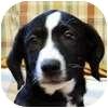 Labrador Retriever/Border Collie Mix Puppy for adoption in Portola, California - Pinto