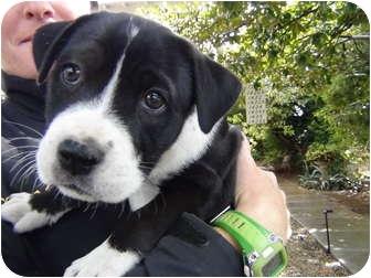 Border Collie/American Staffordshire Terrier Mix Puppy for adoption in Valley Village, California - Alfie