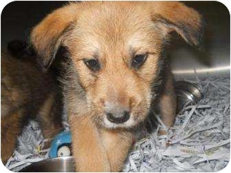 Terrier (Unknown Type, Medium) Mix Dog for adoption in Edwardsville, Illinois - Chumley