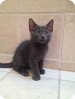 Domestic Shorthair Kitten for adoption in East Hanover, New Jersey - Lotus
