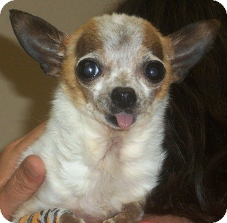 Chihuahua Mix Dog for adoption in Castro Valley, California - Peekaboo