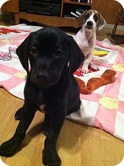 Hound (Unknown Type)/Labrador Retriever Mix Puppy for adoption in Brattleboro, Vermont - Pebbles and Bam Bam