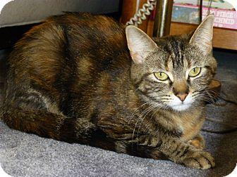 Domestic Shorthair Kitten for adoption in Mt. Prospect, Illinois - Maya