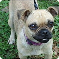 Adopt A Pet :: Bella Ray - Allentown, PA