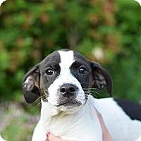 Adopt A Pet :: Francis - South Jersey, NJ