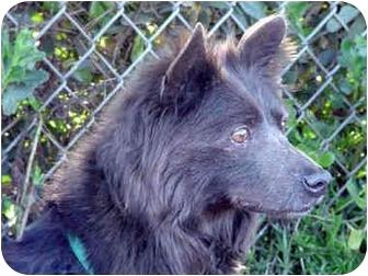 Sheltie, Shetland Sheepdog/Chow Chow Mix Dog for adoption in San Diego, California - Zippy