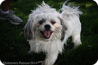 Shih Tzu Mix Dog for adoption in Broomfield, Colorado - Kirby
