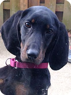Black and Tan Coonhound/Coonhound (Unknown Type) Mix Dog for adoption in North Olmsted, Ohio - Priscilla