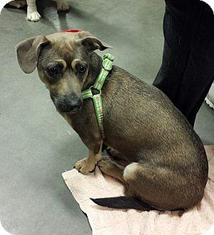Dachshund Mix Dog for adoption in Alexis, North Carolina - Layla