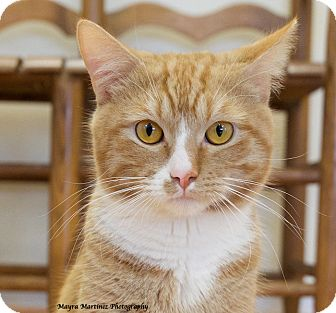Domestic Shorthair Cat for adoption in Chattanooga, Tennessee - Tippy