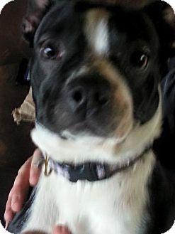 Boston Terrier Mix Dog for adoption in Miami, Oklahoma - Sookie