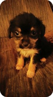 Yorkie, Yorkshire Terrier Puppy for adoption in Haggerstown, Maryland - RheAnnon