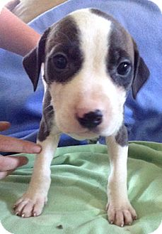 Staffordshire Bull Terrier Mix Puppy for adoption in Cincinnati, Ohio - Lolly