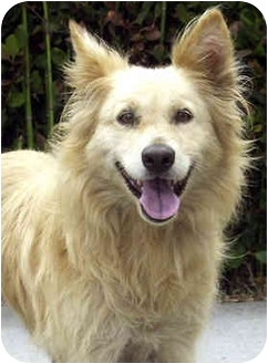 Golden Retriever/Collie Mix Dog for adoption in Marina del Rey, California - Gypsy