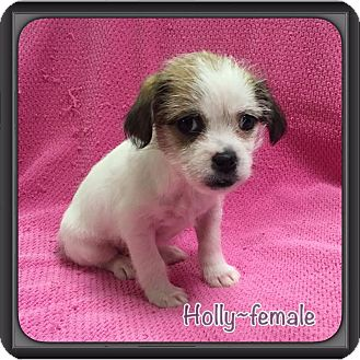 Lhasa Apso Mix Puppy for adoption in Hagerstown, Maryland - Holly