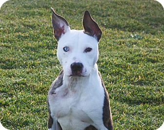Pit Bull Terrier Mix Dog for adoption in Stockton, California - Junior