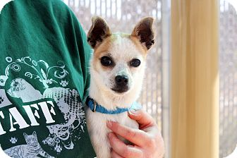 Chihuahua Mix Dog for adoption in Yucca Valley, California - Echo Alfonso Livadia