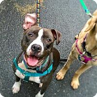 Adopt A Pet :: Luna - Reisterstown, MD
