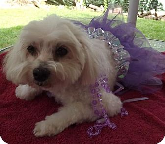 Maltese Dog for adoption in Belcamp, Maryland - Coco*Adopted