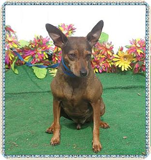 Miniature Pinscher Mix Dog for adoption in Marietta, Georgia - MOE JOE