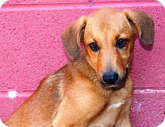 Shepherd (Unknown Type)/Hound (Unknown Type) Mix Puppy for adoption in Goodlettsville, Tennessee - Honey