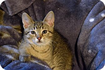 Domestic Shorthair Kitten for adoption in Flushing, Michigan - Andy