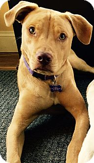 Labrador Retriever Mix Dog for adoption in kennebunkport, Maine - Katie a/k/a Kasey - in Maine