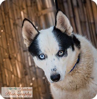 Siberian Husky Dog for adoption in Cedar Crest, New Mexico - Comet