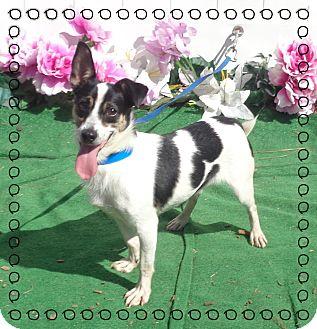 Rat Terrier Mix Dog for adoption in Marietta, Georgia - MILES